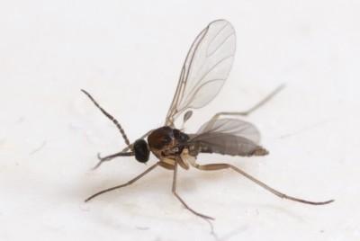 پشه های ریز اطراف گلدان: پشه قارچ را شناسایی و از آن ...
