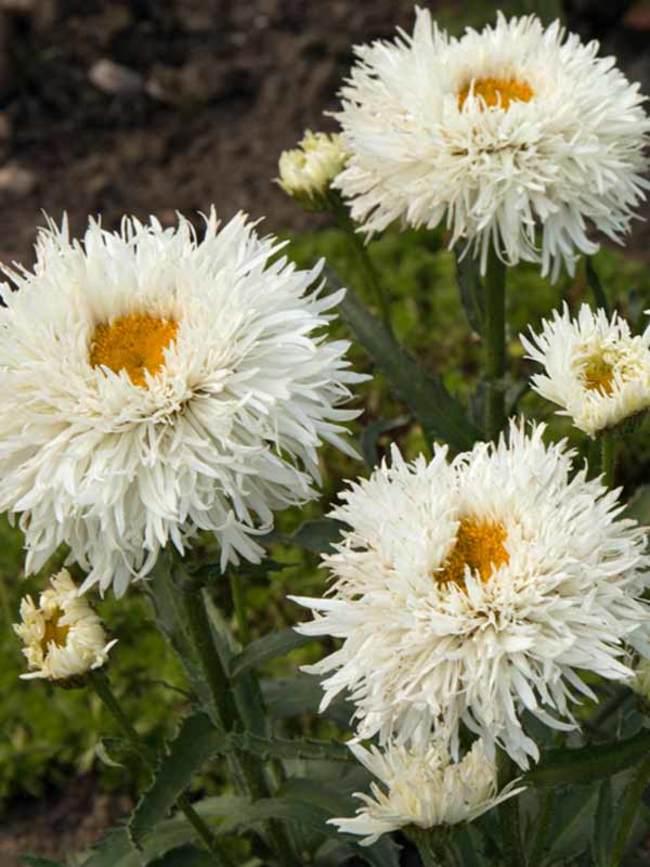 همه چیز درباره شرایط کاشت و نگهداری گل داوودی در باغچه