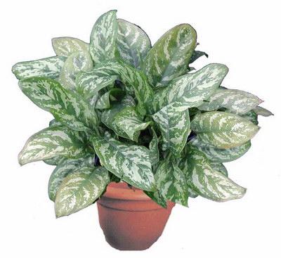 http://nargil.ir/plant/images/pic/1/Aglaonema%20commutatum1.jpg