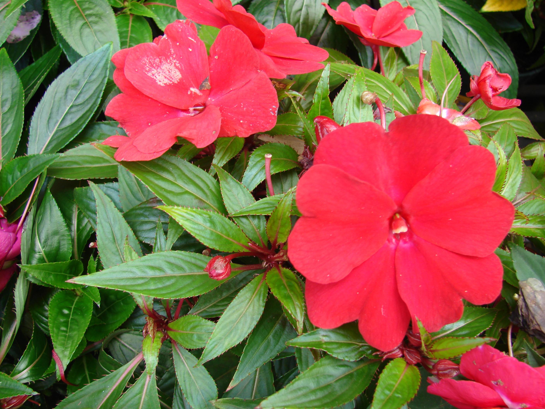 Бальзамин новогвинейский уход, фото Любимые цветы 98