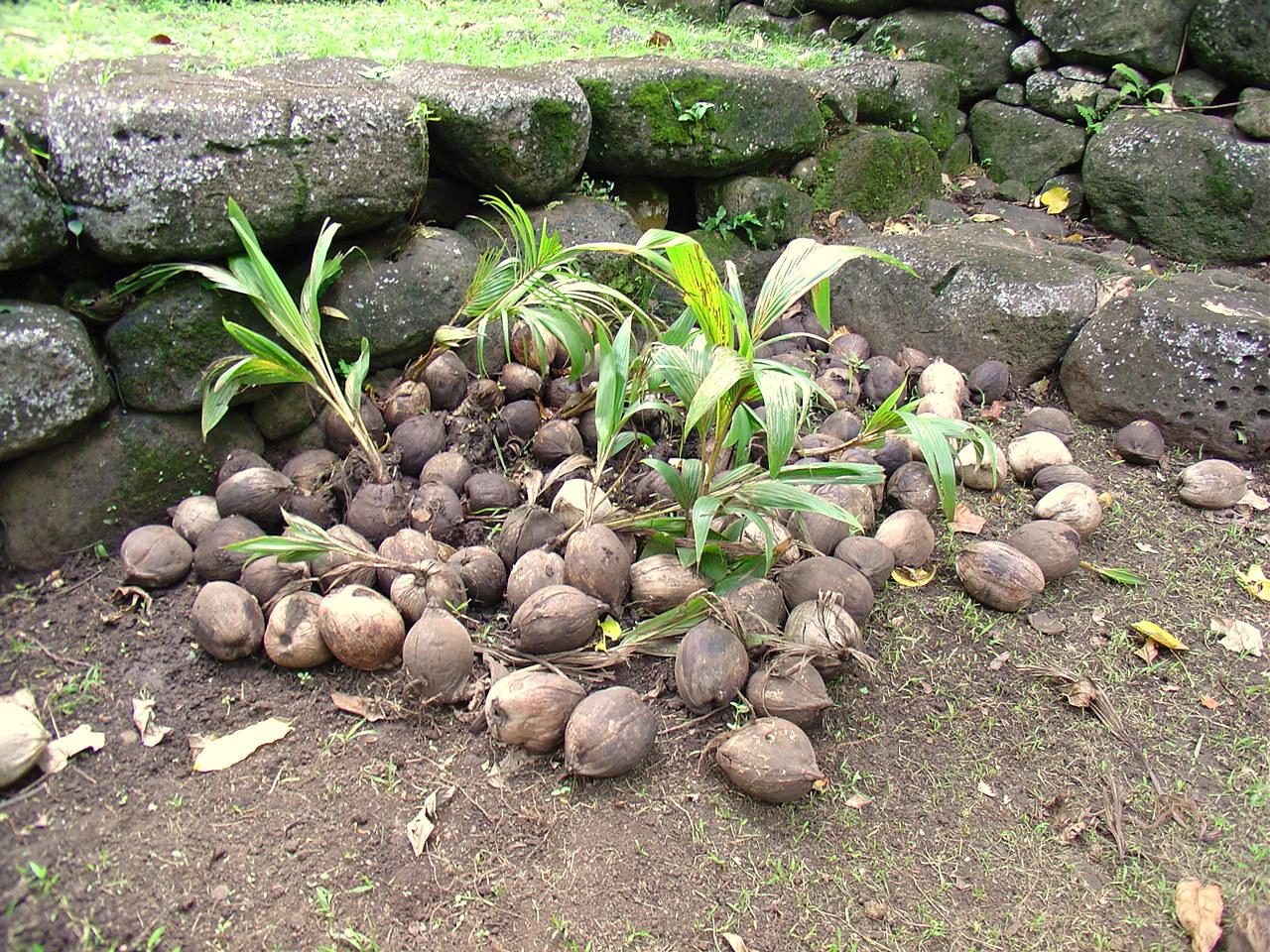 - Tipi di palma da giardino ...