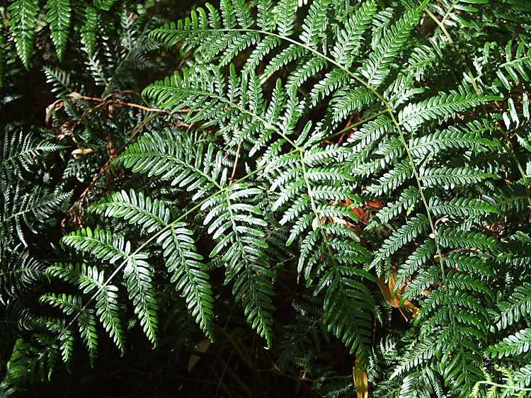 [عکس: bracken2.jpg]  نگهداری ازسرخس اسکولنتوم سرخس اسکولنتوم pteridium esculentum Dennstaedtiaceae