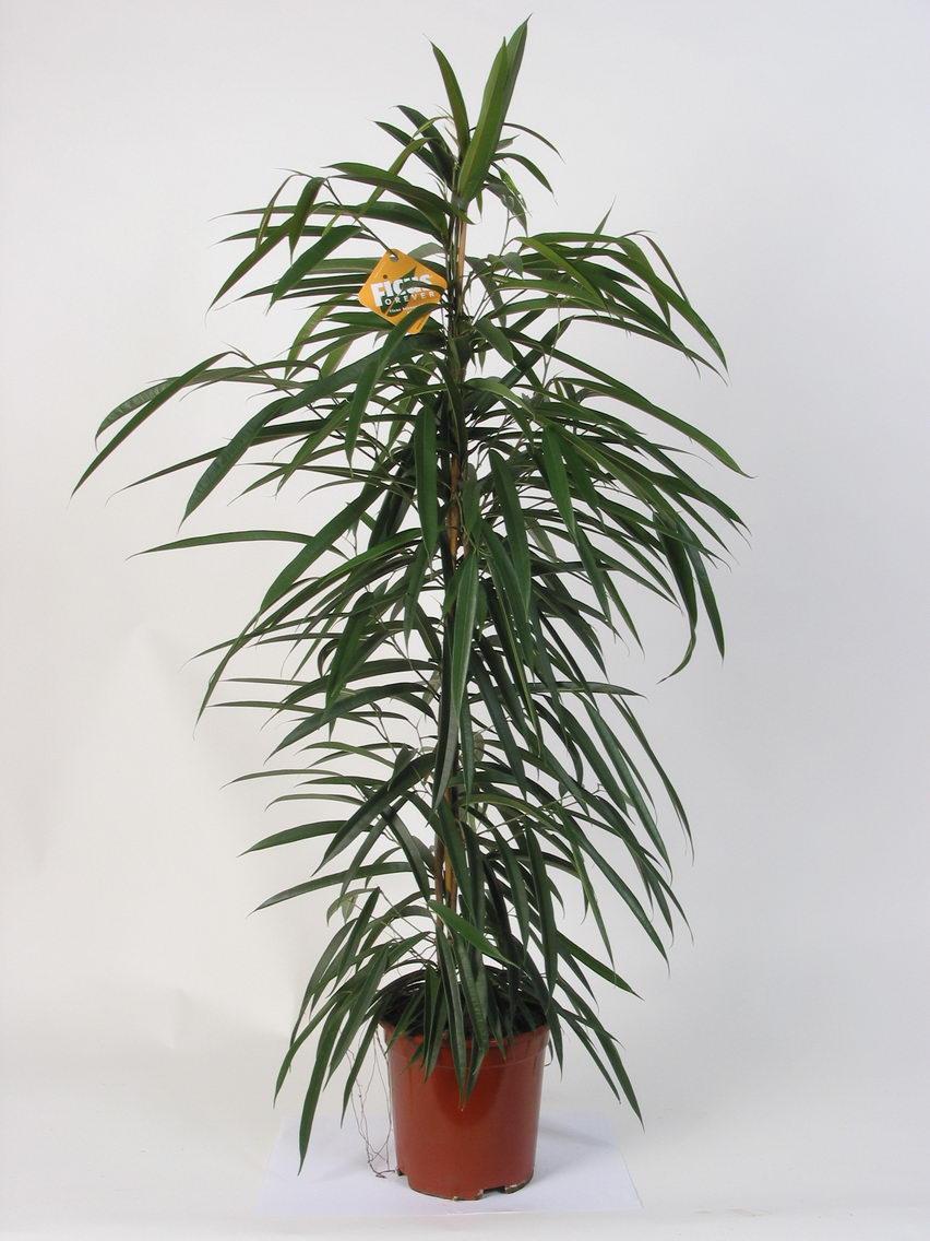 Комнатный цветок с длинными листьями: фото и название 33