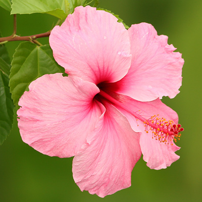 [عکس: Hibiscus%20rosa%203.jpg]