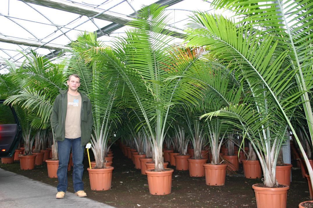 Le forum des fous de palmiers qui peut sauver mon for Palmier dans pot