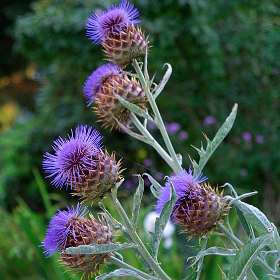 http://nargil.ir/plant/images/pic/1878/cynaracardunculus_sa_2_lg.jpg