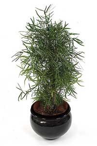 [عکس: Asparagus%20falcatus%201.jpg]