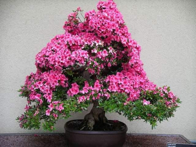 [تصویر:  Rhododendron%20simsii%20bonsai%204.jpg]