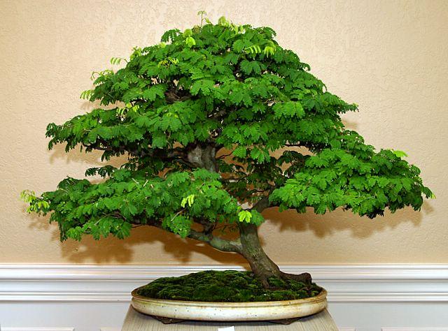 - Arce rubrum bonsai ...