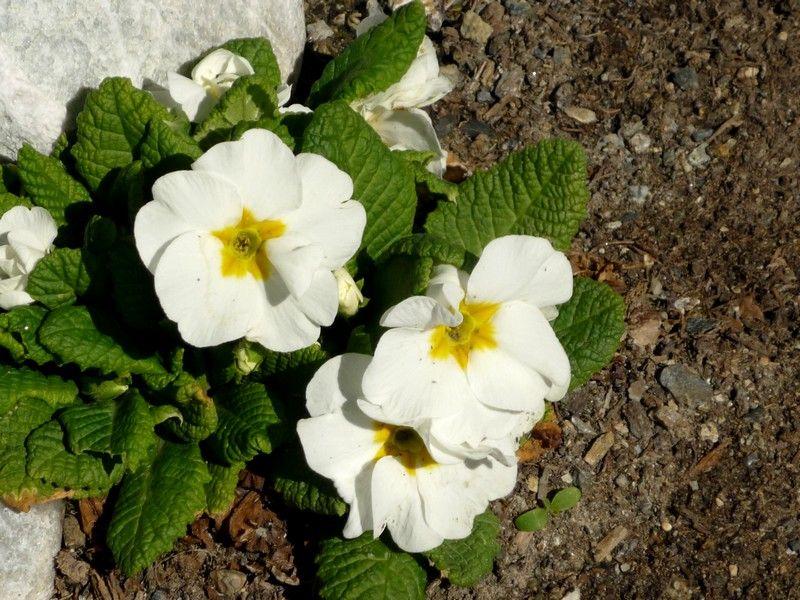پرورش گل پامچال