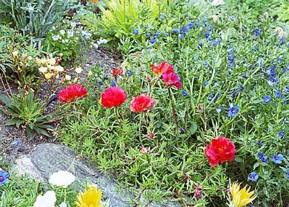 http://nargil.ir/plant/images/pic/284/portulaca%20grandiflora%205.JPG