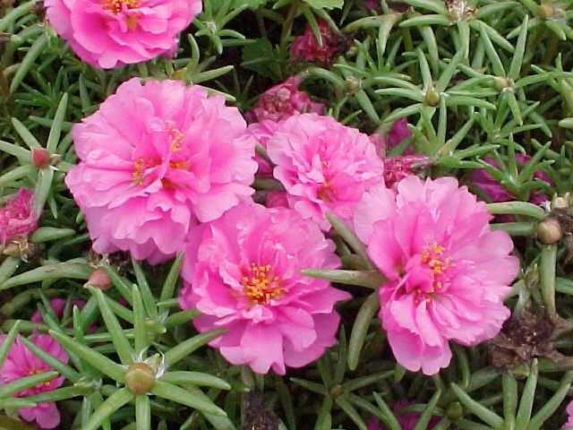 http://nargil.ir/plant/images/pic/284/portulaca%20grandiflora%206.jpg
