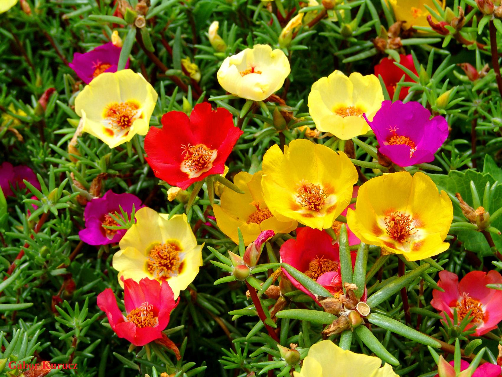 http://nargil.ir/plant/images/pic/284/portulaca%20grandiflora%209.jpg