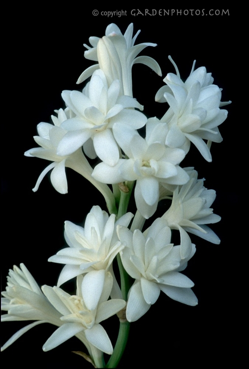 گل مریم شعر محمد صادق زمانی