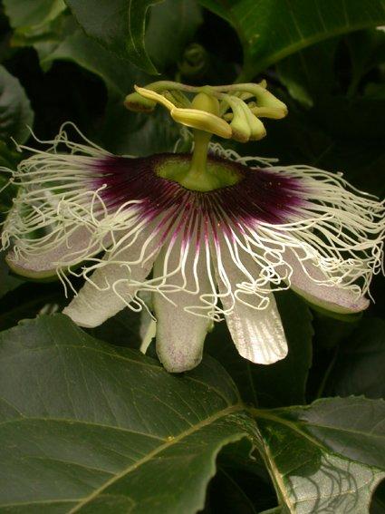 http://nargil.ir/plant/images/pic/298/Passiflora%20edulis%2011.jpg