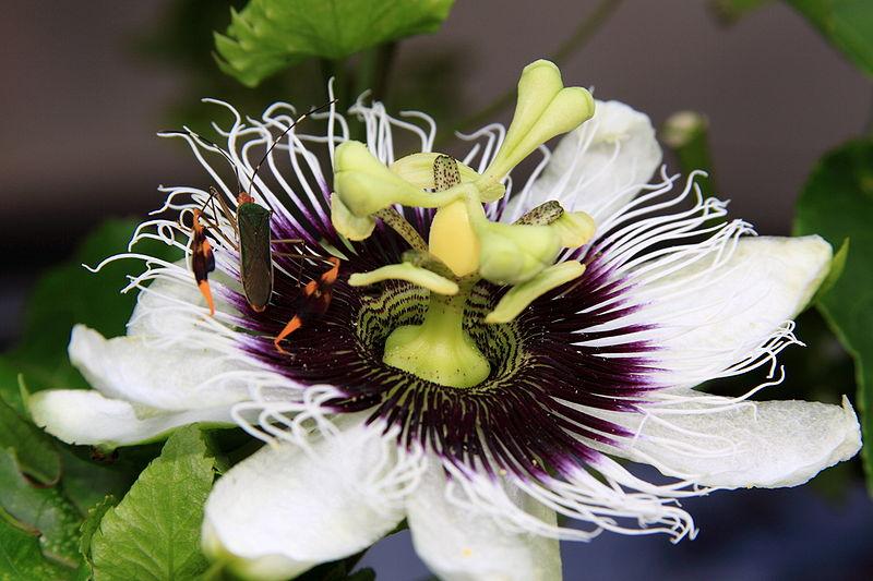 http://nargil.ir/plant/images/pic/298/Passiflora%20edulis%205.JPG