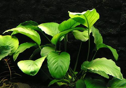 گیاه اتوبیاس قهوه