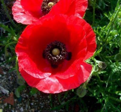 گل شقایق2