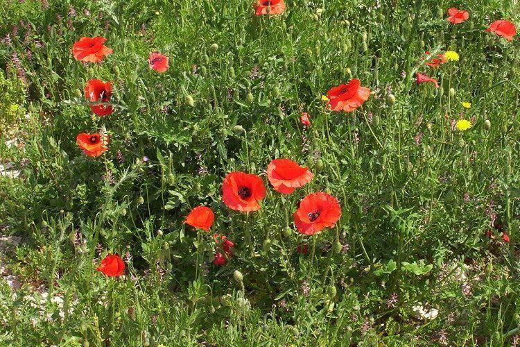 گل شقایق10