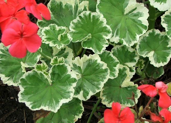 http://nargil.ir/plant/images/pic/36/Pelargonium%201.jpg