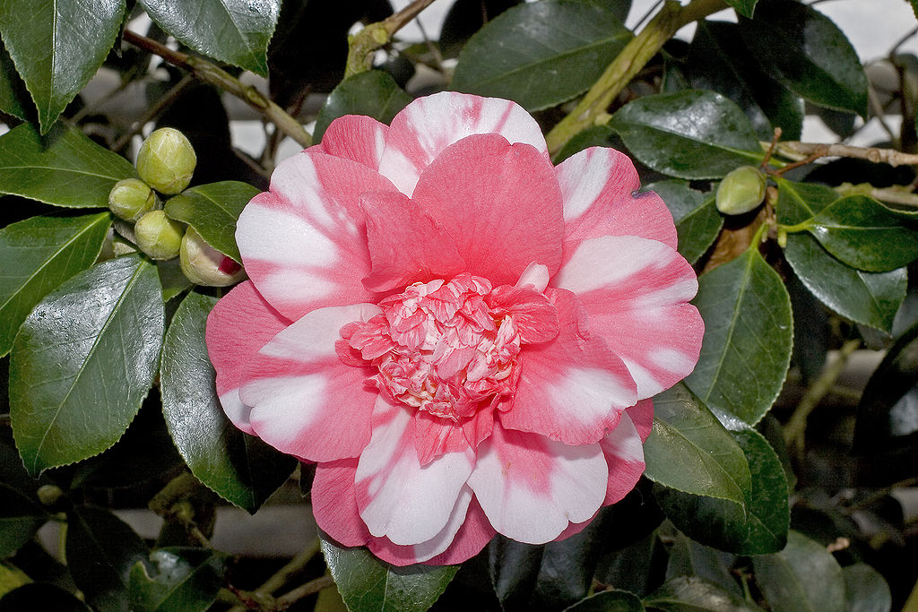 Картинки цветка камелия 8