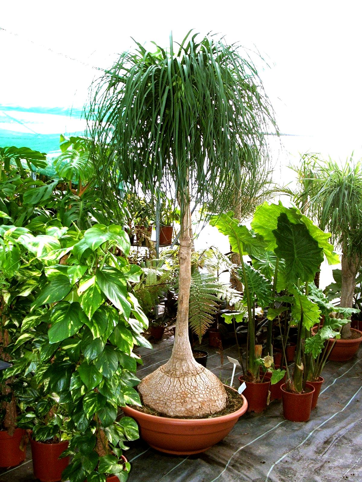 http://nargil.ir/plant/images/pic/43/Beaucarnea%20Recurvata%2014.JPG