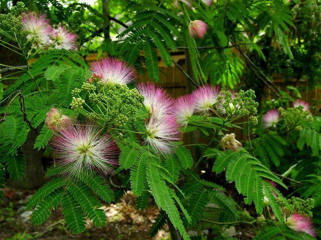 http://nargil.ir/plant/images/pic/441/Albizzia%20julibrissin%2013.jpg