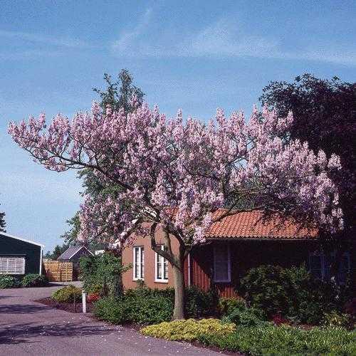 http://www.nargil.ir/plant/images/pic/522/paulownia%20tomentosa425.jpg