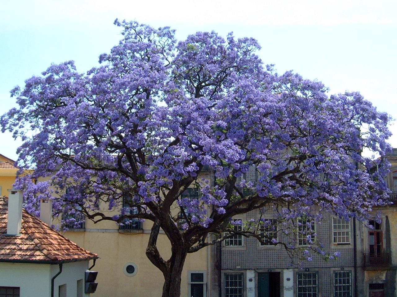 http://www.nargil.ir/plant/images/pic/522/Paulownia_tomentosa1.jpg