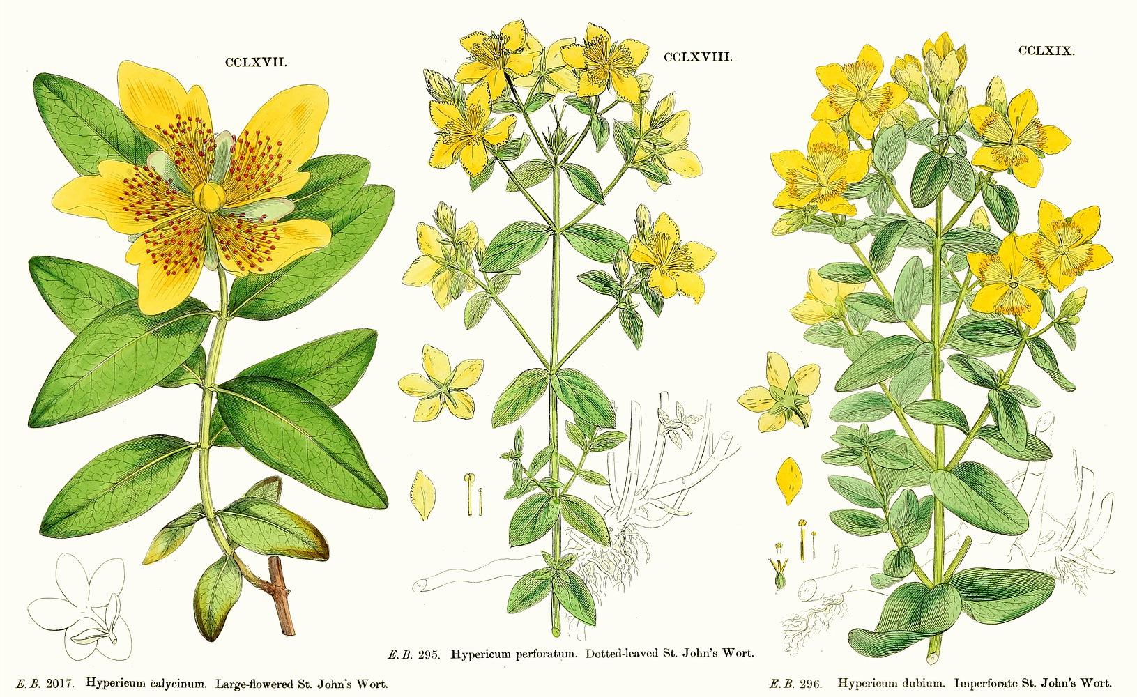 معرفی و راهنمای پرورش گیاهان زینتی فضای باز - گل راعی