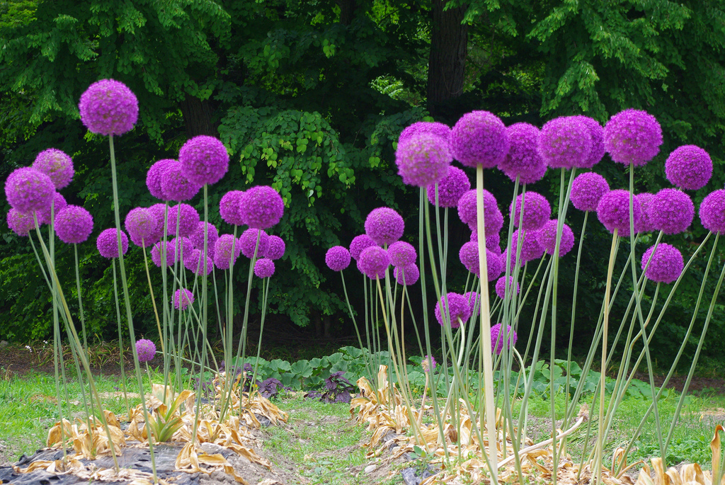 Allium giganteum check out the free plant identification mobile allium giganteum check out the free plant identification mobile app at gardenanswers bulb plants pinterest allium gardens and plants mightylinksfo Image collections