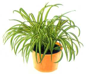 http://nargil.ir/plant/images/pic/63/Chlorophytum%20comosum%206.jpg