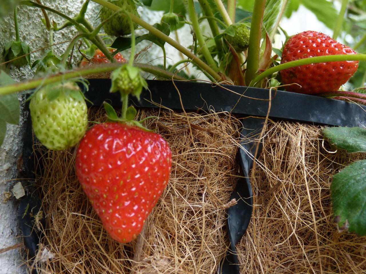 http://nargil.ir/plant/images/pic/641/Fragaria%20Ananassa_18.jpg