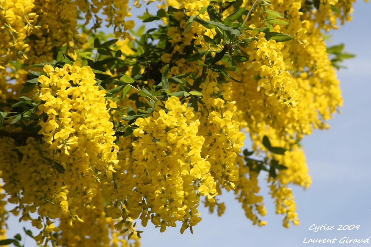 Фото золотой дощ 21 фотография