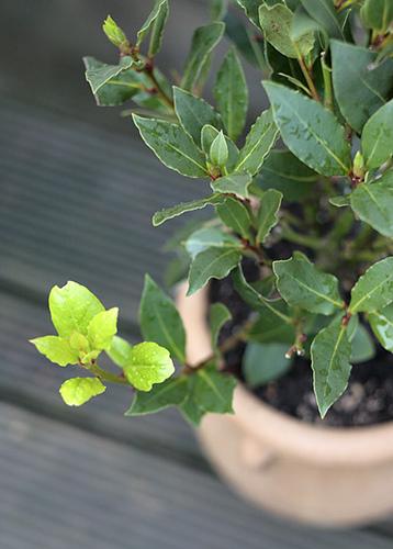 گیاهان مضر برای ایگوانا