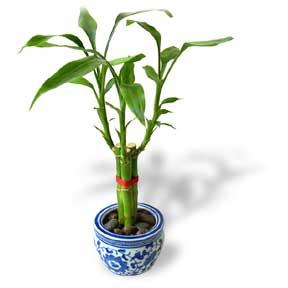 Lucky Bamboo لاکی بامبو – بامبو خوش شانس
