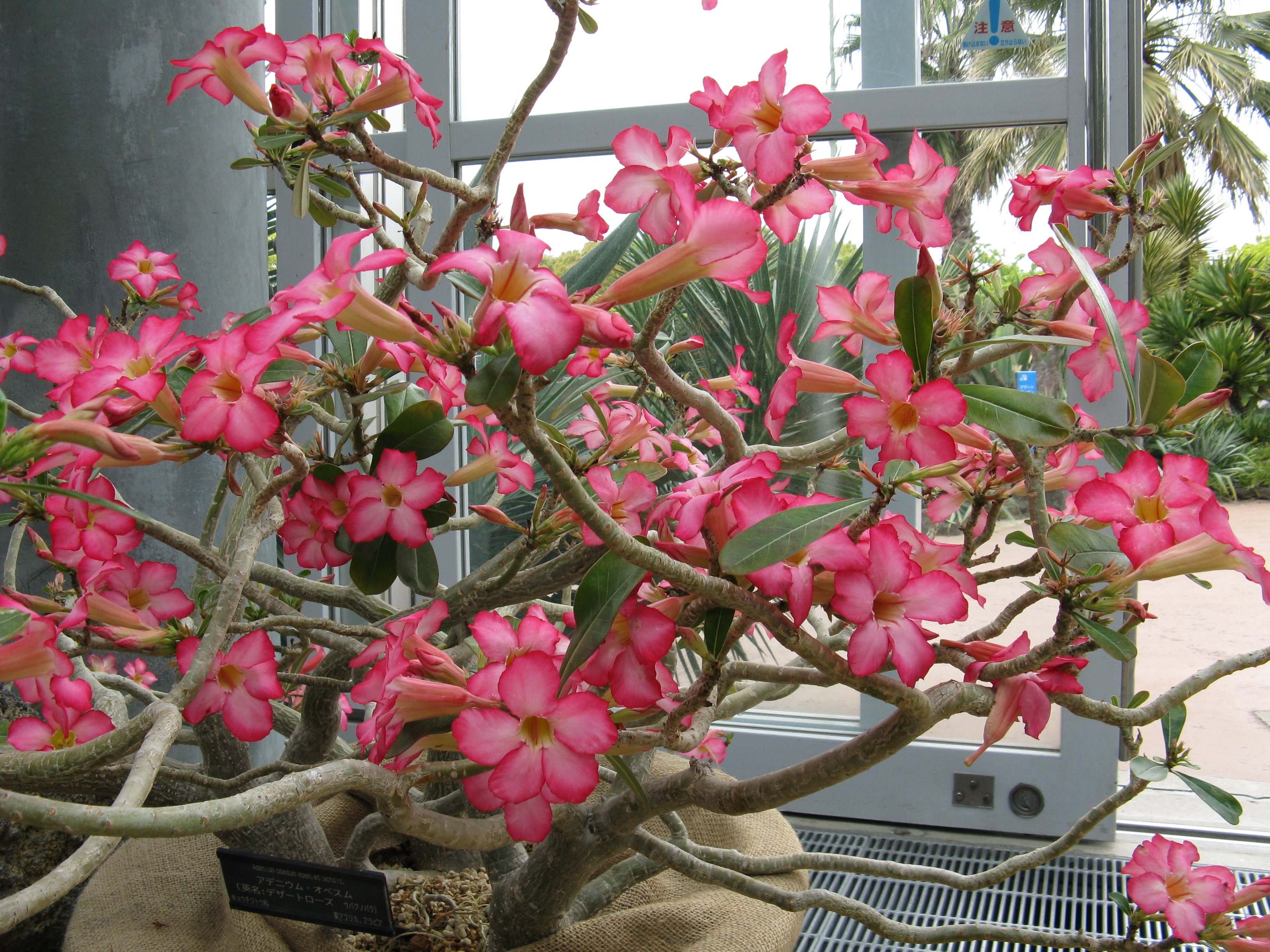 images of desert rose bonsai