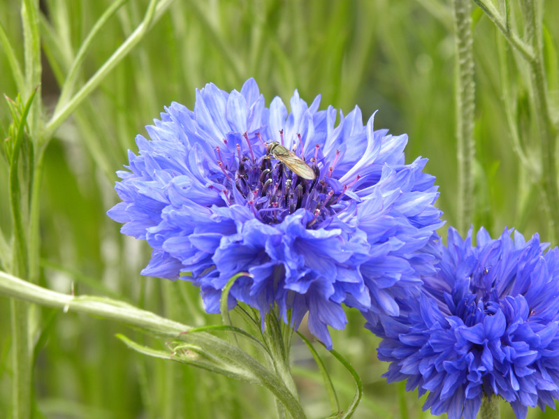 http://nargil.ir/plant/images/pic/808/Centaurea%20Cyanus583.jpg