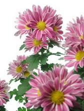 Chrysanthemum%20Morifolium داوودی     CHRYSANTHEMUM