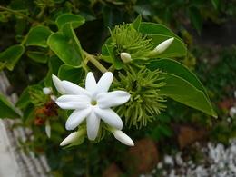 گل ياس رازقي