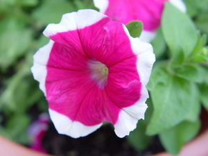 http://nargil.ir/plant/images/plants/Petunia%20Hybrida.jpg