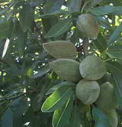 Image result for درخت بادام