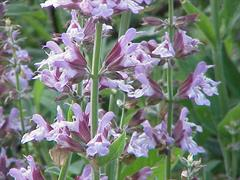 http://nargil.ir/plant/images/plants/Saliva%20reuterana%20Boiss%20-%20Salvia%20officinalis.jpg