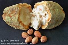 Theobroma%20angustifolum درخت کاکائوی وحشی: