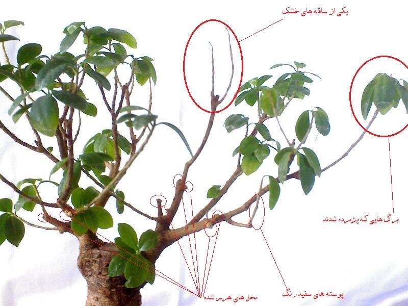 درمان ریزش برگ بونسای