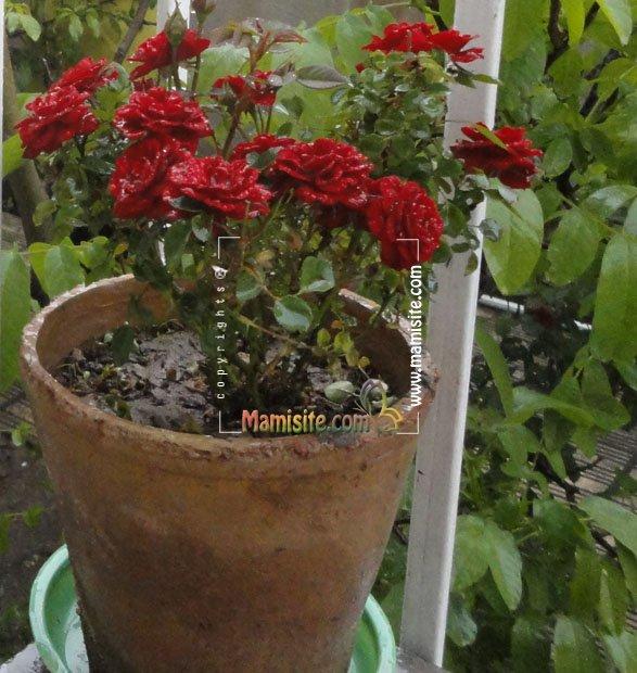 http://nargil.ir/plant/images/postimages/77EA0AC298CD1AF7106C36C65E561D85/image-B269_5038544671.jpg